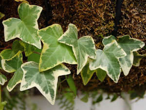 1280px-Hedera_helix_Leaves_3008px